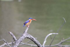 African Kingfisher stock image