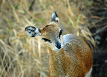 African Klipspringer Antelope Royalty Free Stock Photography