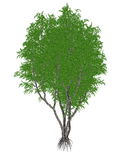 African or lagos mahogany tree, khaya ivorensis. Isolated in white background - 3D render Stock Photography