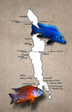 African lake Malawi map with fishes. Sciaenochromis fryeri and Aulonocara Red Rubin Cichlids with map of lake Malawi map, africa, fish Stock Images