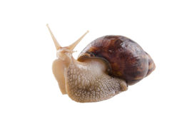 African land snail Royalty Free Stock Images