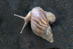 African land snail crawling Royalty Free Stock Photo