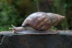 African land snail crawling Stock Photography
