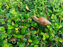 African land snail moves on the green leaves floor. Stock Photography