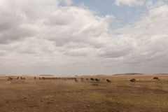 African landscape. In Masai Mara national park in Kenya, East Africa 2011 Royalty Free Stock Image