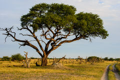 African landscape with acacia tree Stock Photos