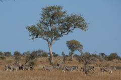African landscape with animals. African landscape with a herd of zebras Stock Images