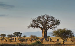 African landscape with animals Stock Image