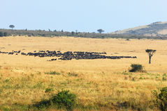 African landscape with antelopes gnu Royalty Free Stock Photography