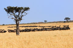 African landscape with antelopes gnu Royalty Free Stock Photos