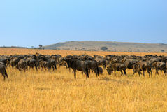 African landscape with antelopes gnu Stock Images