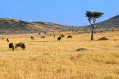 African landscape with antelopes gnu Stock Photos