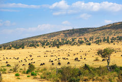 African landscape with antelopes gnu Stock Image