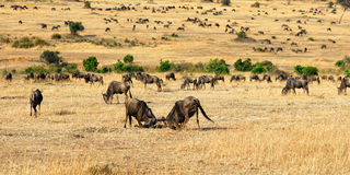 African landscape with antelopes gnu Stock Photo