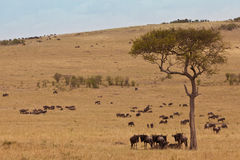 African landscape with antelopes gnu Royalty Free Stock Photo