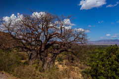 African landscape baobab tree Royalty Free Stock Photos
