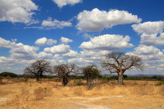 African landscape with baobab trees Royalty Free Stock Photography