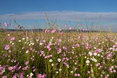African landscape with cosmos flowers and a blue sky. Background use African landscape with cosmos flowers and a blue sky image with copy space and in landscape Stock Images