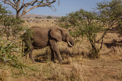 African landscape with eating elephant. Photo taken during the safari in Serengeti National park. Tanzania Stock Photo