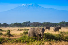 African landscape with elephants and Kilimanjaro Mountain stock photography