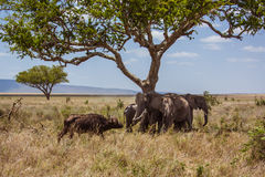 African landscape elephants are protected against. Lonely buffalo. Photo taken during the safari in Serengeti National park. Tanzania Royalty Free Stock Photo