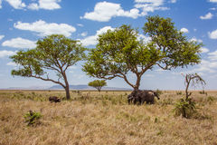 African landscape elephants are protected against. Lonely buffalo. Photo taken during the safari in Serengeti National park. Tanzania Royalty Free Stock Images