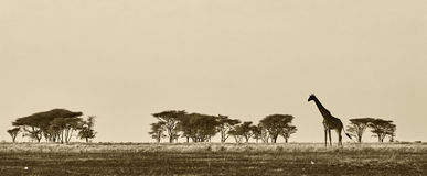 African landscape with giraffe Royalty Free Stock Images