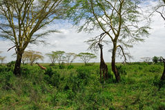 African landscape with giraffes stock photos