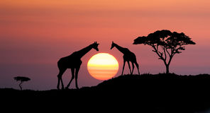 African landscape. Giraffes and africans tree at sunset, abstract african illustration landscape with big sun over the horison Stock Images