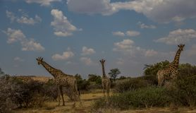 African savanna with giraffes and trees. An African landscape with giraffes image with copy space in landscape format royalty free stock images