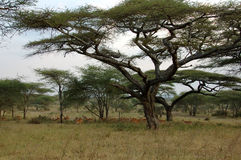 African landscape with impalas. Trees and  impalas in the Serengeti National Park, Tanzania Stock Photography