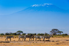 African landscape with Kilimanjaro Mountain royalty free stock images