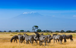 African landscape with Kilimanjaro Mountain royalty free stock photography