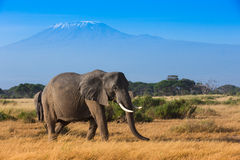 African landscape with Kilimanjaro Mountain stock photography