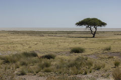 African landscape, Namibia. African tree and saltpan in Etosha National Park, Namibia Stock Photo
