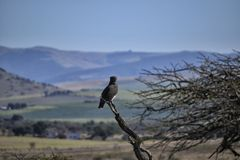 African Landscape with Perched Black-chested Snake Eagle stock image