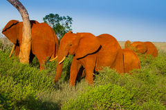 African landscape with red elephants Royalty Free Stock Photo