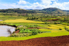 African landscape with rice fields. In summer time Stock Image