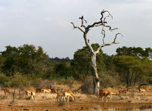 African landscape. Savannah. Impalas. Scene of an African landscape with green bush in the back-ground and a dry tree and a herd of African Impalas in front in stock photo