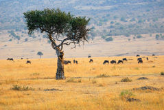 African landscape with the solitary tree Stock Images