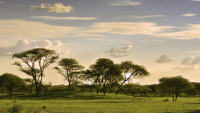 African landscape at sunset time. Thorn trees and clouds Stock Image