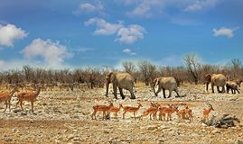 A typical African scen in Etosha National Park, which is known for it`s abundance of wildlife Royalty Free Stock Photography