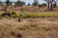 African landscape vultures feeding. Serengeti National park. Tanzania Royalty Free Stock Photography