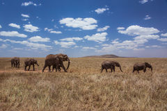 African landscape walking elephant family. Photo taken during the safari in Serengeti National park. Tanzania Stock Photos