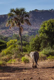 African landscape with walking elephant. Manyara lake national park. Tanzania. Africa royalty free stock photography