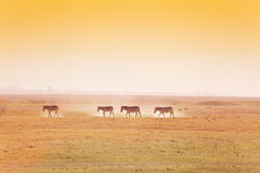 African landscape with walking herd of zebras Royalty Free Stock Image