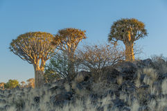 African landscapes - Quiver Tree Forest  Namibia Stock Image
