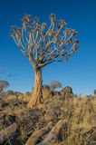 African landscapes - Quiver Tree Forest  Namibia Royalty Free Stock Photo