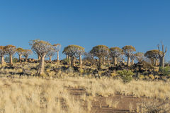 African landscapes - Quiver Tree Forest  Namibia. African Landscapes, Qiver Tree Forest at Keetmanshoop, Namibia Royalty Free Stock Photography