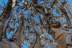 African landscapes - Quiver Tree Forest  Namibia. African Landscapes, Qiver Tree Forest at Keetmanshoop Namibia.Close up of a Quiver tree Royalty Free Stock Images